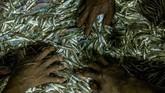 Sejumlah nelayan menyortir hasil tangkapan ikan di perairan Demak, Jawa Tengah. (ANTARA FOTO/Aji Styawan)