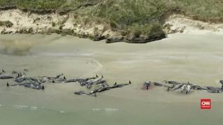 VIDEO: Ratusan Paus Pilot Mati Terdampar di Selandia Baru