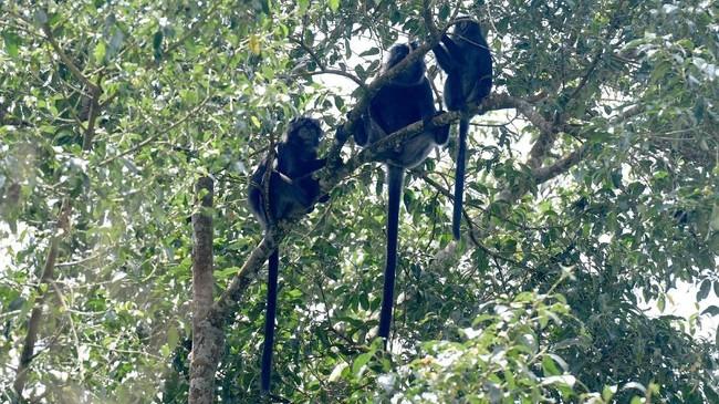Jika beruntung, pendaki dapat menemukan gerombolan Lutung Jawa (Trachypithecus auratus) bergelantungan di pepohonan.