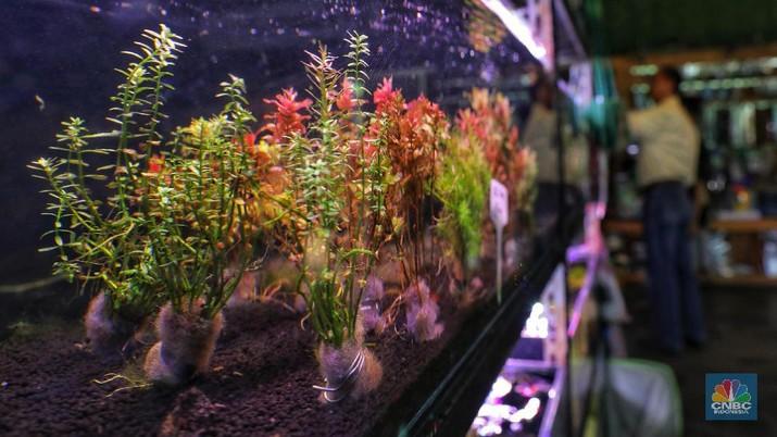 Melihat Bisnis Berhias Kebun di Akuarium Aquascape
