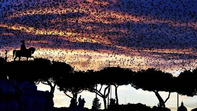 Saat senja, kawanan burung starling terbang di atas monumen Altare della Patria (prajurit tanpa nama) di pusat kota Roma. (Photo by VINCENZO PINTO / AFP)