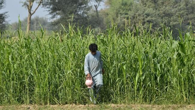 """""""Saya bilang kepadanya,'Kamu bisa pergi kemana saja, tapi saya, pergerakan saya terbatas,"""" kata Siddiqua yang berusia 60 tahun. (ARIF ALI / AFP)"""