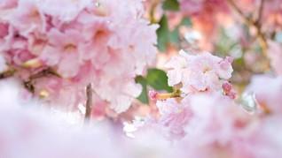 Meneliti Keampuhan Bunga Tabebuya untuk Kesehatan