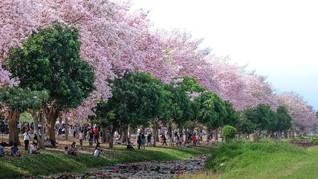 Trik agar Pohon Bunga Tabebuya Berbunga Lebat
