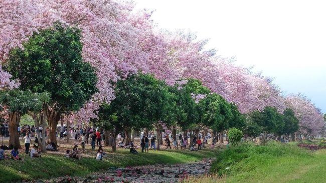 Bunga Tabebuya Bermekaran Jadi Ajang Selfie Warga Surabaya