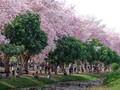 Mengenal Bunga Tabebuya, 'Sakura' yang Warnai Surabaya