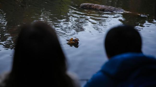 Bebek Mandarin merupakan simbol kesetiaan dalam hubungan pernikahan. (Eduardo Munoz Alvarez/Getty Images/AFP)