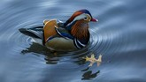 The now famous Mandarin Duck, nicknamed Mandarin Patinkin, makes an appearance amongst other ducks and geese on November 27, 2018, at a pond in Central Park in New York. - The colorful duck, native to China and Japan, has been nicknamed Mandarin Patinkin by local media, after the actor/singer Mandy Patinkin. (Don EMMERT / AFP)
