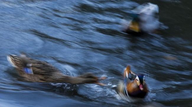 Bebek Mandarin biasa hidup liar di China, Jepang, dan beberapa kawasan Eropa. Namun hewan ini jarang ditemukan di Amerika bagian utara. (Eduardo Munoz Alvarez/Getty Images/AFP)