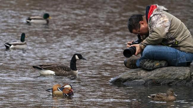 Seorang fotografer sedang mengabadikan gerak-gerik si Bebek Mandarin. (Don EMMERT / AFP)
