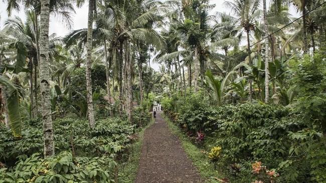 Perkebunankopi di Banyuwangi telah dikelola secara turun-temurun dan telah berumur 40-50 tahun. Bahkan semua pekarangan rumah-rumah ditumbuhi pohon kopi yang rindang dengan tinggi sekitar 1-2 meter. (ANTARA FOTO/M Agung Rajasa)