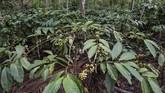 Luas perkebunan kopi rakyat di kawasan Gombengsari sekitar 853 hektardi dataran tinggi dengantanah berbukit di ketinggian 400-600 mdpl yang menyebabkan daerahitu menjadi penghasil kopi robusta dengan kualitas terbaik. (ANTARA FOTO/M Agung Rajasa)