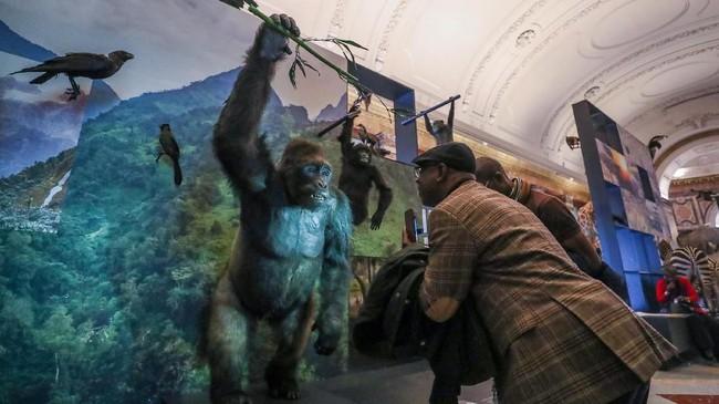Museum Afrika ini dipenuhi artefak dan hewan-hewan seperti gorila di atas, kerap dikritik karena mengabaikan kebrutalan Raja Leopold II kala memerintah Kongo yang mengakibatkan kematian jutaan penduduk sipil. (REUTERS/Yves Herman)