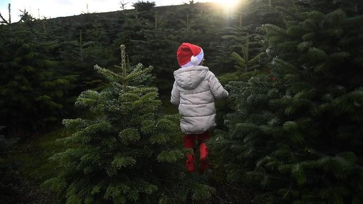 Unik! Warga Beli Pohon Natal Langsung di Perkebunan Irlandia