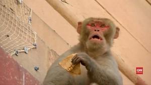 VIDEO: Gedung Pemerintahan India Diserbu Monyet