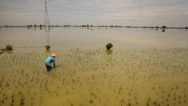 Petani memeriksa kondisi tanaman padi yang terendam banjir di Desa Baturejo, Sukolilo, Pati, Jawa Tengah, Kamis (6/128). Banjir akibat hujan yang turun dengan intensitas tinggi menyebabkan ratusan hektare tanaman padi yang berumur sepekan terendam sehingga sebagian besar tanaman padi rusak. (ANTARA FOTO/Yusuf Nugroho)