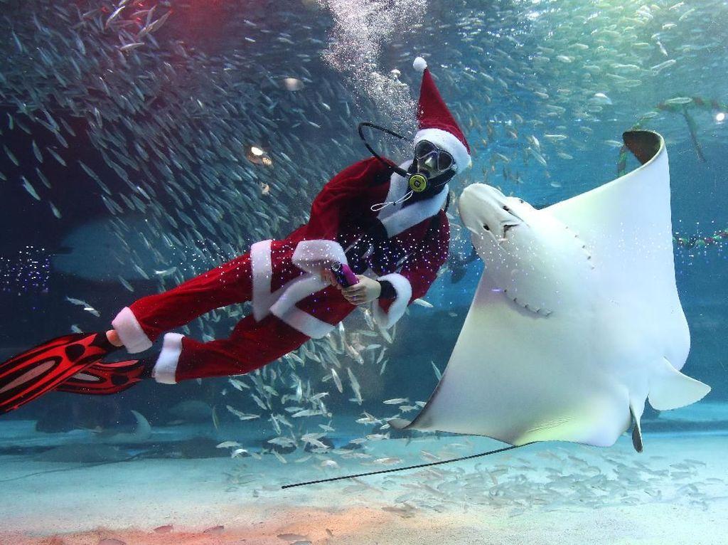 Sambut Natal, Sinterklas Berenang Bersama Ribuan Ikan di Korsel