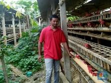 Harga Anjlok, Pengusaha Beli Ayam Peternak Rp 20.000/Kg