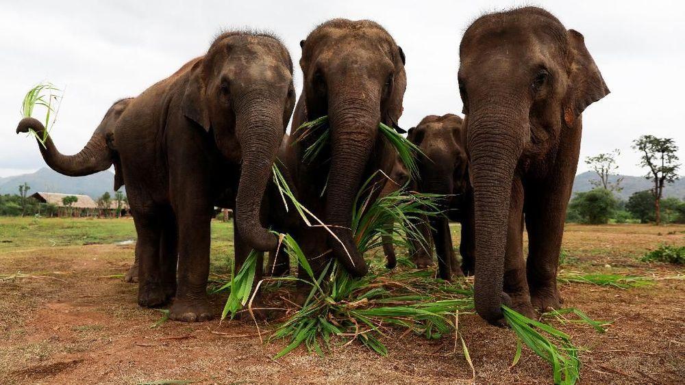 Pemilik tempat kudus, Samart Prasithpol, 44, mengatakan musik tampaknya memberikan gajah dengan beberapa kenyamanan khusus. Reuters/Soe Zeya Tun