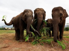 Kejam, Gajah Hamil Tewas Akibat Diberi Makan Nanas Isi Bom