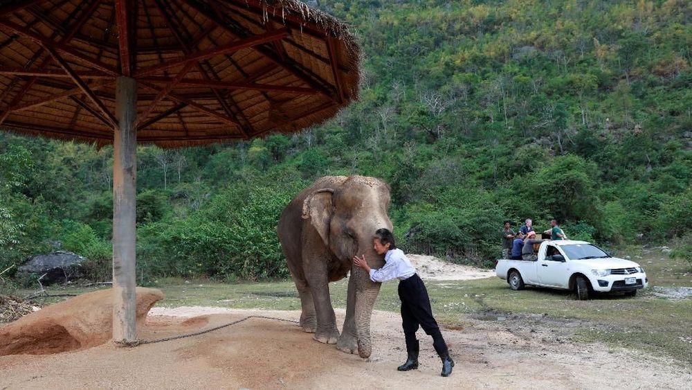 Hampir 80 persen dari sekitar 3.000 gajah di tempat-tempat wisata di Thailand, Kamboja, India, Laos, Nepal dan Sri Lanka, menanggung kondisi hidup yang buruk dan diet dan bekerja berlebihan, menurut kelompok perlindungan hewan World Animal Protection. Reuters/Soe Zeya Tun