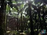Petani Didorong Ikut Program Replanting Lahan Sawit