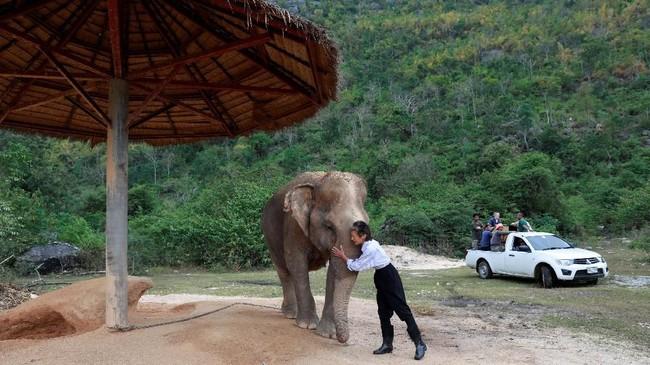 Tak hanya musik, para gajah juga mendapat perlakuan istimewa di Elephant World, termasuk pelukan hangat dari pengunjung. (REUTERS/Soe Zeya Tun)
