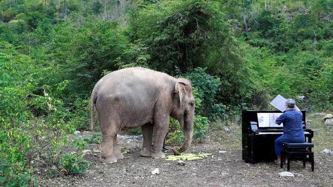 Lam Duan, seekor gajah buta Thailand berusia 65 tahun, sedang menikmati makan siangnya, mendengarkan Silent Night dimainkan di atas piano. (REUTERS/Soe Zeya Tun)
