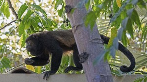 Diduga Akibat Pestisida, Rambut Monyet di Kosta Rika Berubah