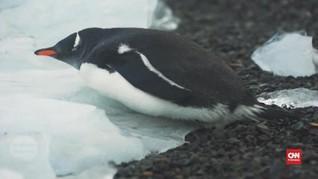 VIDEO: Bakteri Patogen Manusia Serang Hewan Antartika