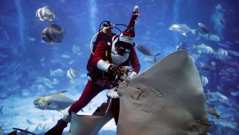 Aquarist Zhao Jian Wen, 38 tahun, memberi makan ikan pari dengan pakaian Santa Claus selama perayaan Natal S.E.A Aquarium di Singapura. REUTERS/Edgar Su