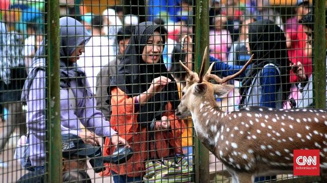 Salah satu rusa totol mendekat ke pagar pembatas sehingga membuat pengunjung taman margasatwa Ragunan gemas dan ingin mencoba menyentuh atau mengambil fotonya. (CNN Indonesia/ Harvey Darian)