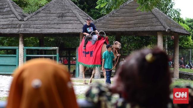 Salah satu atraksi lain di taman margasatwa Ragunan adalah mengajak pengunjung merasakan sensasi menunggangi hewan, termasu Unta. (CNN Indonesia/ Harvey Darian)