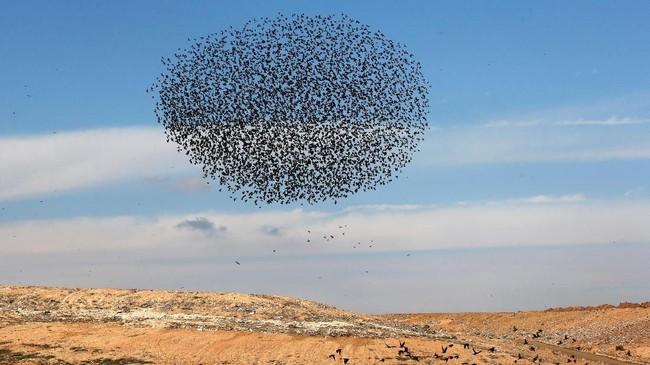 Selain masif, ribuan burung itu juga membuatformasi yang kerap membuat takjub banyak orang.