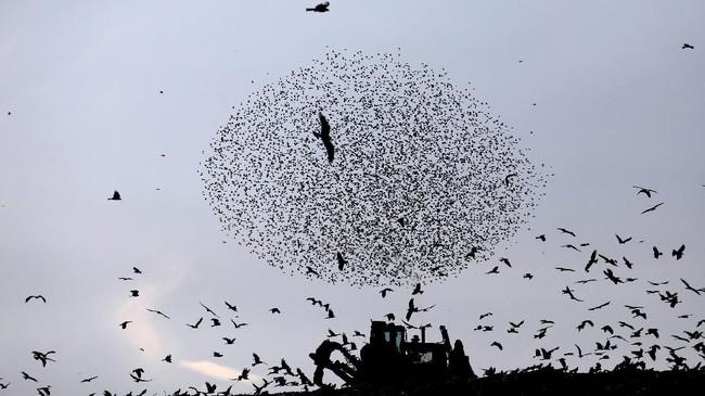Setiap tahunnya, tepatnya saat musim dingin tiba, ribuan burung Jalak bermigrasi dari Rusia dan Eropa Timur menuju Israel.