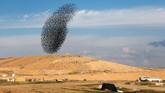 Manuver yang dilakukan oleh kawanan burung jalak itumenyerupai seonggok awan hitam yang menakutkan.