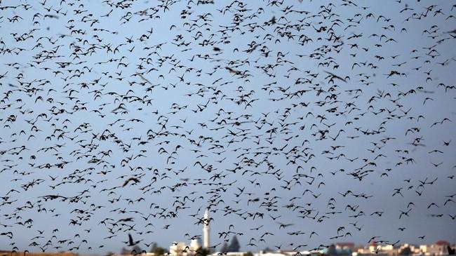 Ribuan burung jalakterlihat memenuhilangit Israel.