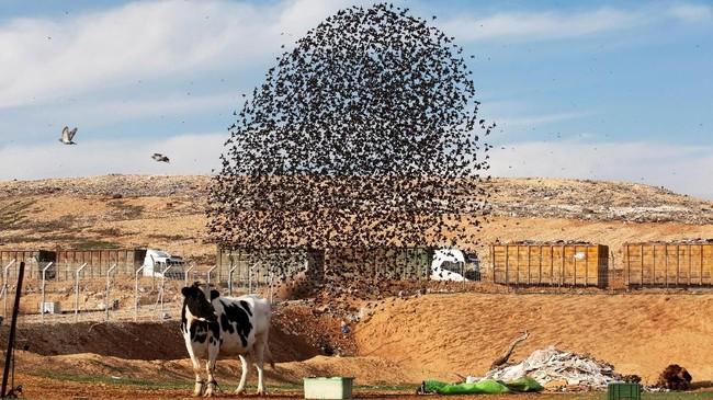 Gerakanyang dilakukan oleh kawanan burung jalak itu bukan tanpa tujuan,melainkan untuk melindungi diri dari ancaman predator.