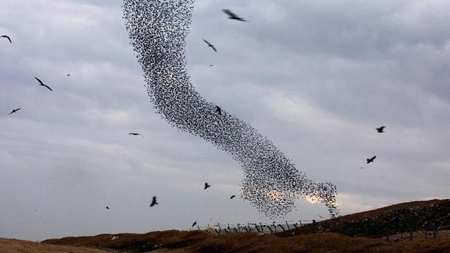 Kawanan burung ini kerap membentuk pola yang absurd namun mengagumkan.