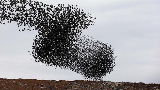 Kawanan burung starling yang sedang bermigrasi terbang di atas fasilitas pengolahan limbah di Rahat, Israel. (REUTERS/Ronen Zvulun)