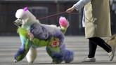 Seorang perempuan mengajak seekor anjing yang didandani berjalan-jalan di sebuah jalan di Provinsi Liaoning, China. (REUTERS/Stringer)