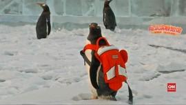 VIDEO: Enam Pinguin Nikmati Kandang Terbuka di China