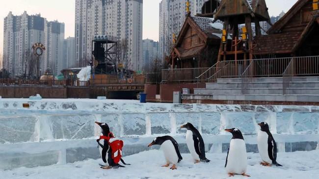Penguin gentoo menjadi salah satu daya tarik promosi festival es tahunan di Harbin, Provinsi Heilongjiang, China. (Reuters/Tyrone Siu)