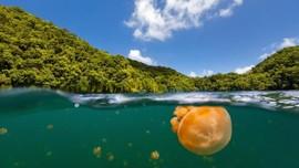 Danau di Palau Kembali Didatangi Ubur-ubur Emas
