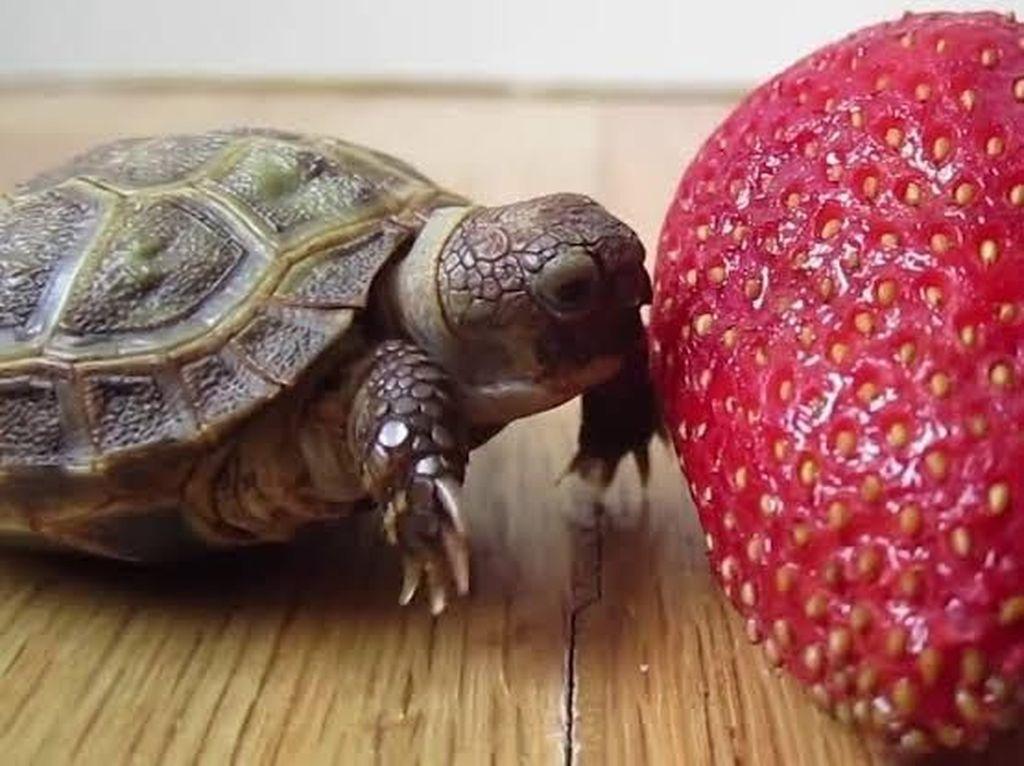 Lucunya Aksi Bayi Kura-kura Saat Berusaha Gigit Strawberry 'Raksasa'