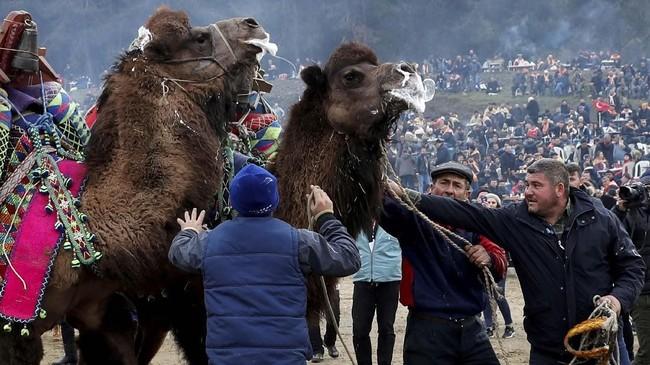 Setidaknya, diperkirakan ada 1.200 unta Tulu tersebar di Turki. Kebanyakan dikembangbiakkan untuk pertandingan. (REUTERS/Murad Sezer)