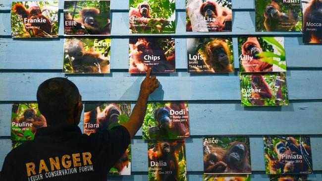 Dalam radius satu kilometer, ada sekitar tujuh sampai sepuluh Orangutan di Suaq Balimbing.