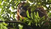 Seekor Orangutan berada di kawasan stasiun riset Suaq Balimbing, Kecamatan Kluet Selatan dan Kluet Timur, Kabupaten Aceh Selatan.
