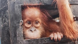 Ditembak 74 Kali, Orangutan Aceh Selamat dari Masa Kritis