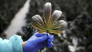 Legalisasi Ganja Tekan Angka Kematian Akibat Opioid di AS